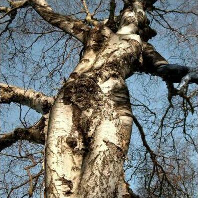 Árvore em forma de mulher