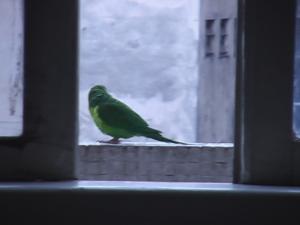 Periquito verde na janela