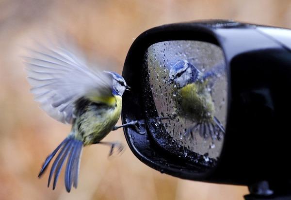 passarinho no espelhinho do carro