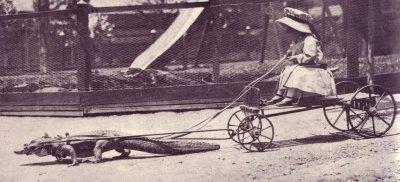 Charrete atrelada a um jacaré com criança guiando, foto antiga