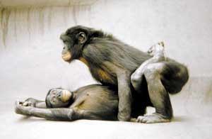 macacos bonobos transando