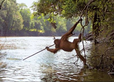 Macaco usando instrumentos, estudo de Jay Ullal