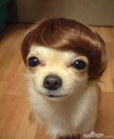 cachorrinho olhando debaixo com peruca de beatle