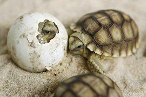 tartarugas e ovo se quebrando olhinho de tartaruga de dentro da casca