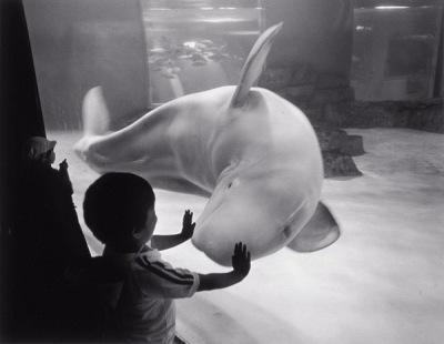 garoto tocando no aquario de baleia baluga branca