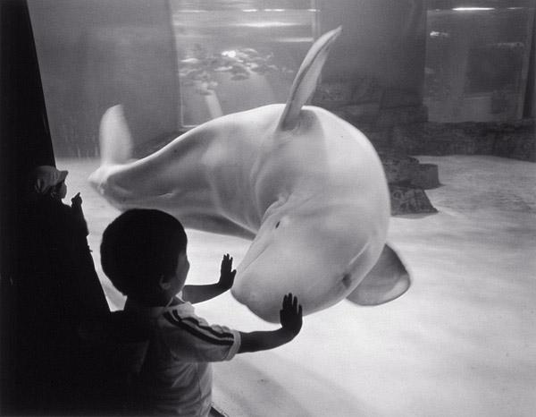 garoto tocando vidro de aquario com baleia beluga branca