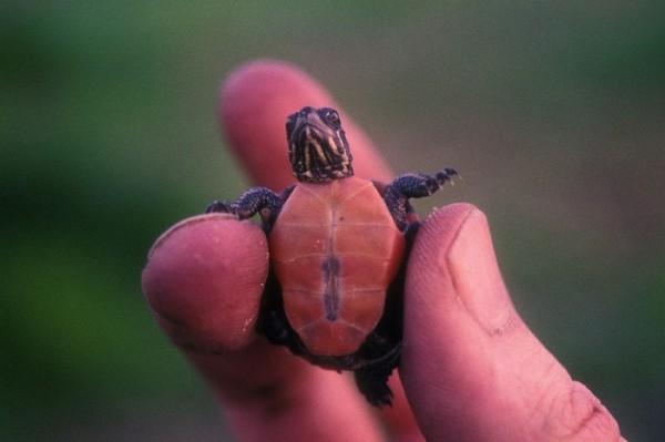 tartaruga pequenina segura por uma mão