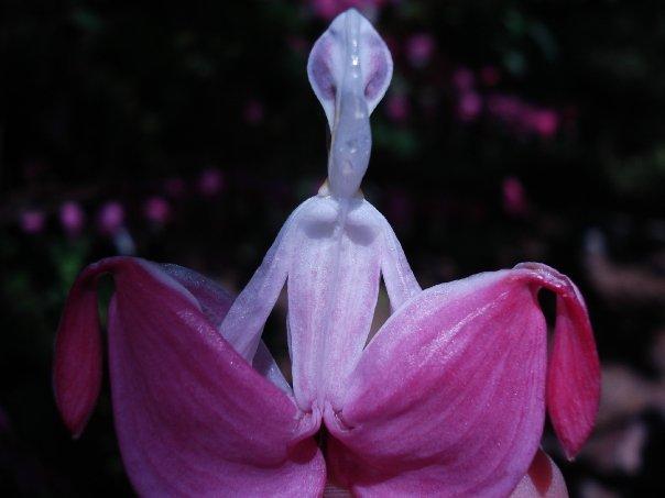 orquidea em formato de alien abrindo a saia