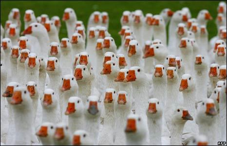 newsbbccouk__45173135_geese