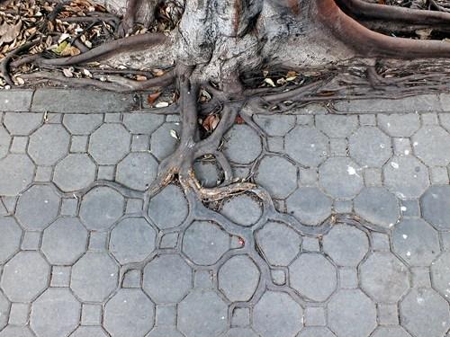 Raiz de árvore se infiltrando nos espaços entre o os blocos pequenos e elípticos do piso de concreto