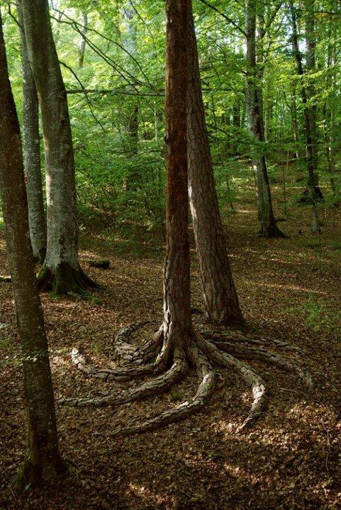 Árvore em uma floresta com uma raiz se espalhando em formato de espiral