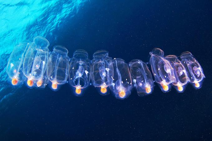 Mais de dez águas vivas flutuando uma do lado da outra, embaixo dágua, como se fossem uma fila de pessoas