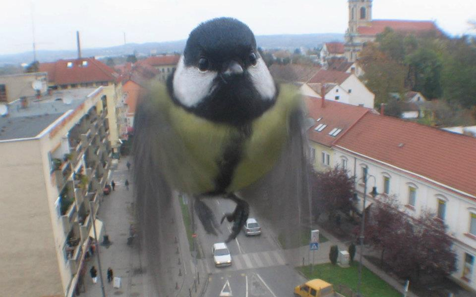 Passarinho voando sobre rua da Europa, visto em close, bem de frente com as asas batendo