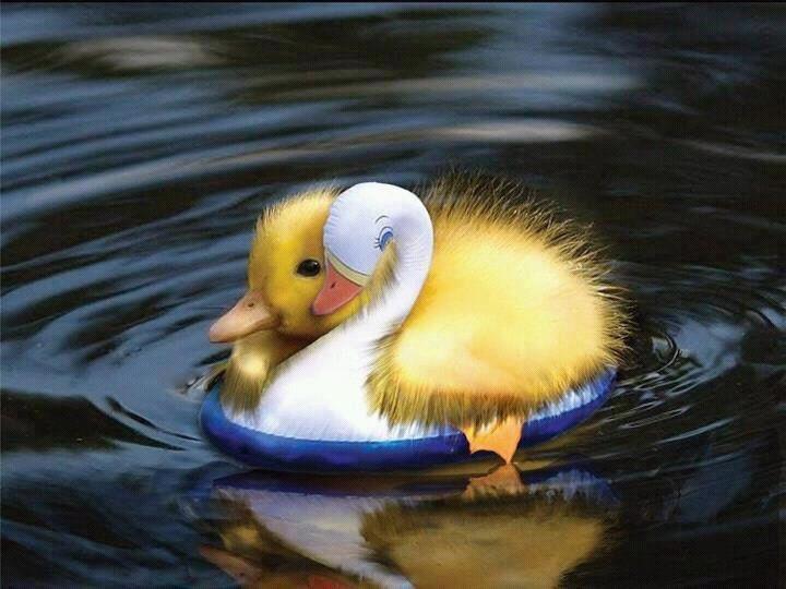 Patinho amarelo num lago montado sobre um pequeno cisne de plastico banco