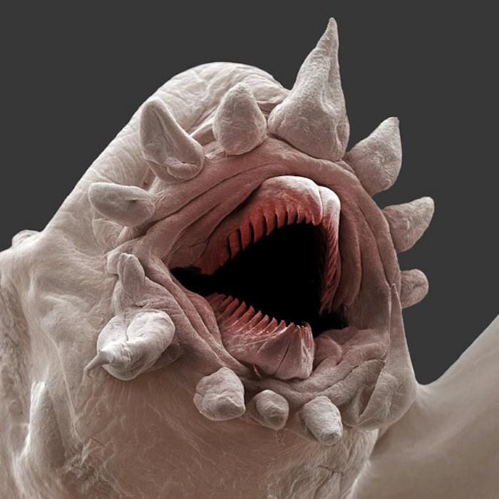 Imagem ampliada de um pequeno ser que parece um monstro, só boca sem olhos, uma boca dentro de outra boca dentro de outra boca...