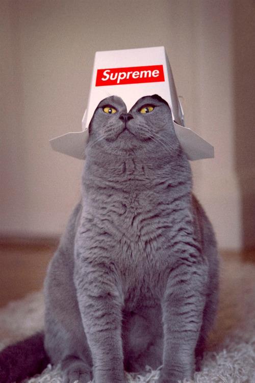 Gato cinza com embalagem escrita SUPREME na cabeça como se fosse um capacete