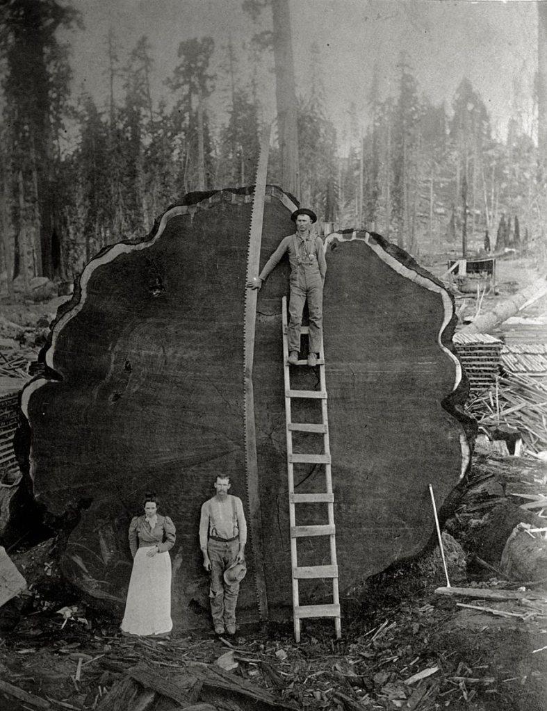 Foto antiga PB mostrando o tronco de uma arvore imensa e antiga derrubada e os lenhadores posando pra foto na frente dela